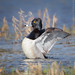 Ring-necked Duck Flap