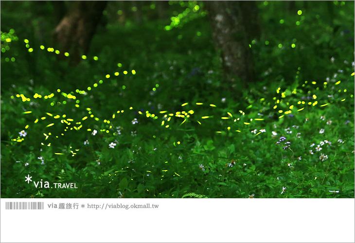 【台中螢火蟲】東勢林場螢火蟲~賞螢必遊!滿滿的螢火蟲閃爍夢幻光芒4