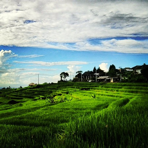 Paddy fields in Bali