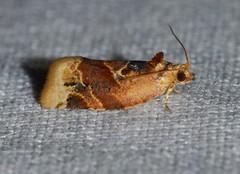 # 3597 – Argyrotaenia velutinana – Red-banded Leafroller Moth