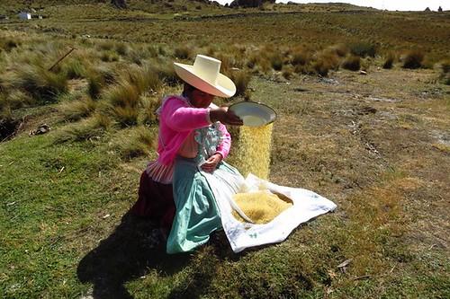 Escogiendo trigo
