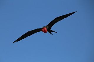 Galapagos Frigate bird.  Ecuador.