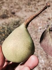 pear, flora, fruit, food, close-up,