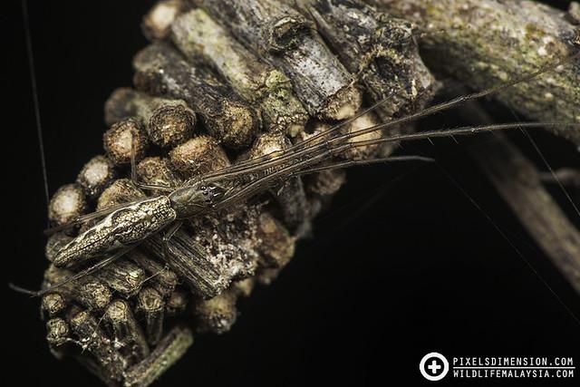 Common Big-Jawed Spider- Tetragnatha mandibulata ♀