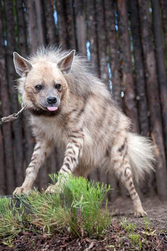 Tuli the Striped Hyena.