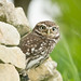 Little owl (Athene nocyua)