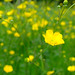 Hampstead Heath Buttercups