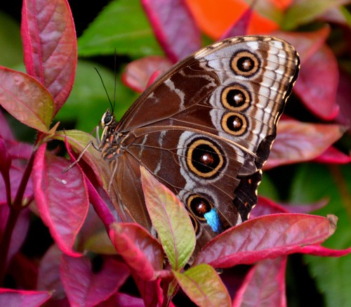 brown nature eyes cincinnati butterflies insects morpho mariposas schmetterling bluemorpho papillion krohnconservatory farfalle vigilantphotographersunite vpu2 vpu3 vpu4 vpu5 vpu6 vpu7 2013butterlyshow jennypansing