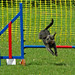 Small photo of Terriers Can Do Agility Too