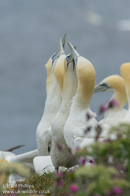 Courting gannets double-2