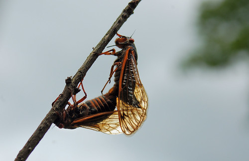 Cicada Life Cycle 21 Cicada Pole Dancing