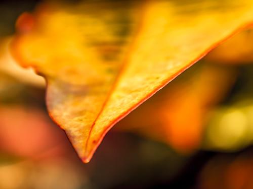 morning autumn orange usa macro leaves yellow sunrise photography dawn us photo leaf october colorful texas unitedstates fav50 bokeh fallcolors tx unitedstatesofamerica fav20 100mm photograph fallen 100 fav30 2012 kemah f35 fav10 fav40 galvestoncounty ¹⁄₄₀sec ef100mmf28lmacroisusm mabrycampbell october142012 201210146470