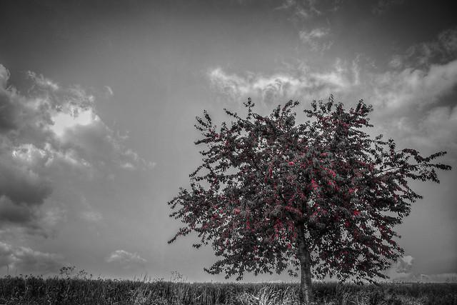 cherry/tree