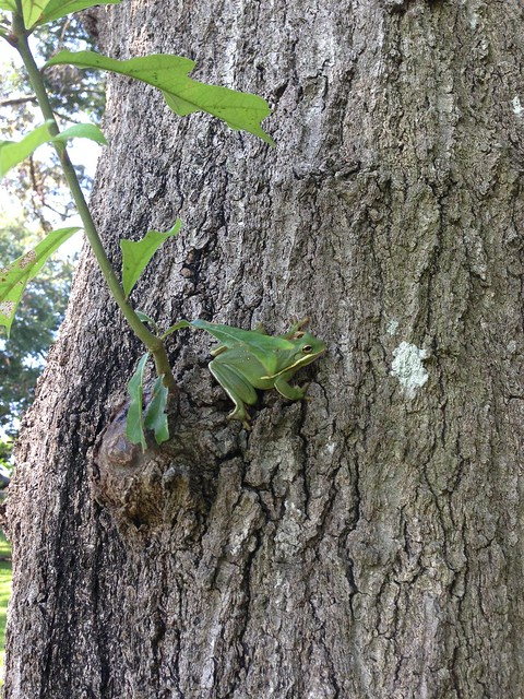 tree frog5