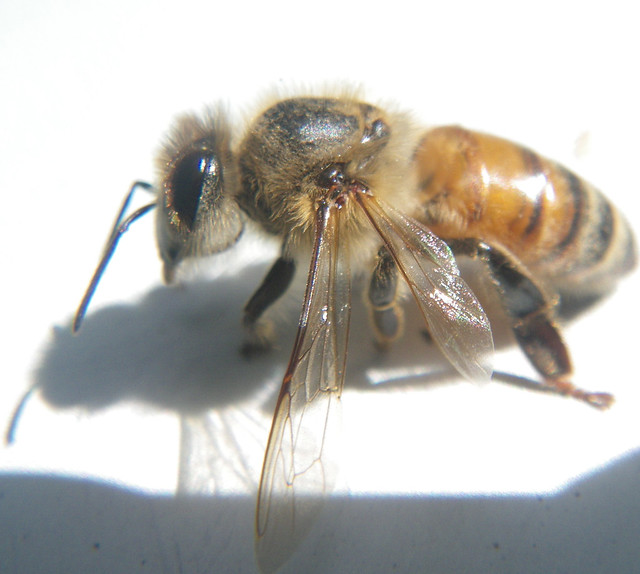 bee can't fly and looks like it's going bald