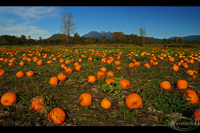 Laity Pumpkin Patch