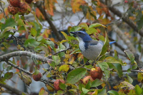 Western Scrub Jay (photo by Mike Patterson)