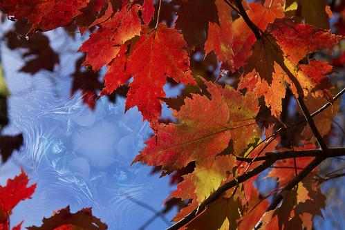 Fall Leaves Maple Fractal