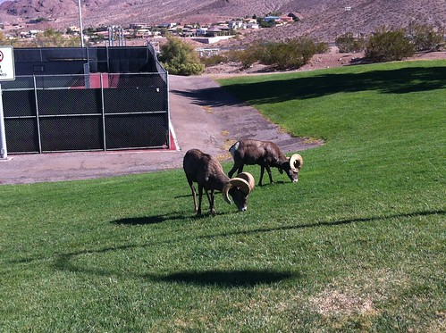 big horn sheep right by the front of hemenway park
