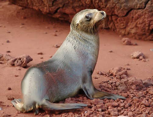 Galapagos Fur Seal on the red sand beach of Rabida/Jervis Island (Explore #7 11/13/13)