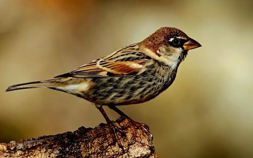birds birding birdsinportugal avesemportugal aves sparrow ornithology birdwatching spanishsparrow passerhispaniolensis pardalespanhol gorriónmoruno moineauespagnol weidensperling pensasvarpunen gorriódepassa