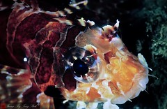 ambonfish0011