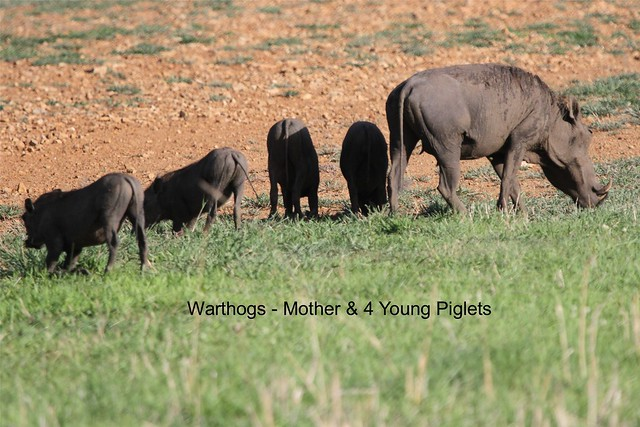 Warthogs part of the family looking out for their meal using their mounth in Ruaha National Park