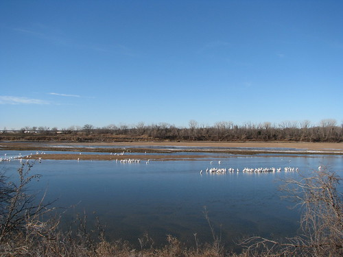 Hundreds of white pelicans on a sandbar in the Arkansas River at Tulsa, January 2014