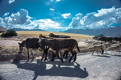 Peruvian Donkey Passing