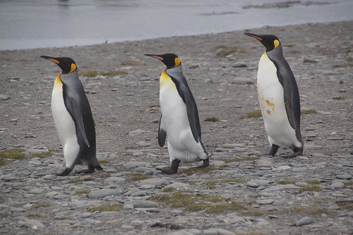 415 Koningspinguins