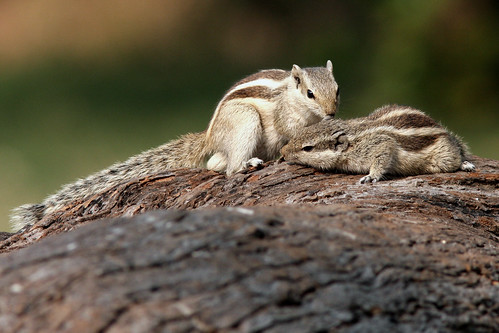 Striped Squirrel by Enam Ul Haque