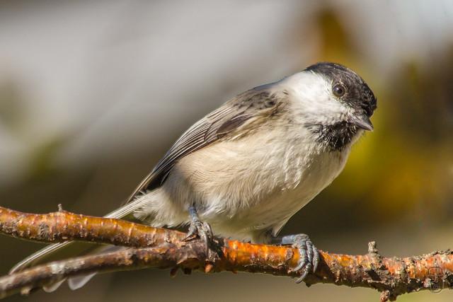 Willow Tit (borealis) (Poecile montanus borealis)-2506