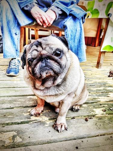a pug named malte
