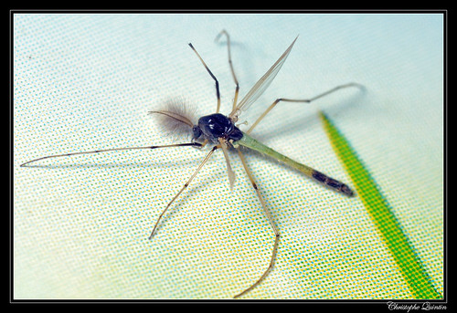 Microtendipes pedellus mâle