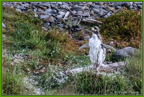 newzealand penguin otago yelloweyedpenguin roaringbay ahuririflat