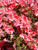 Day 110: Lots of Azalea blooms