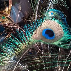 animal(0.0), peafowl(0.0), branch(0.0), bird(0.0), feather(1.0), close-up(1.0),