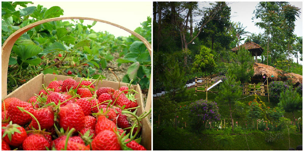 6-strawberry-farms-via-Natural-Lembang,-Hanif-Mhaff-Is-Good