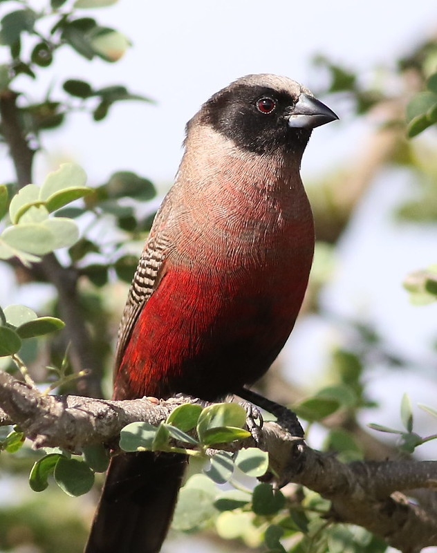 Black-faced waxbill, or black-cheeked waxbill, Estrilda erythronotos, at Zaagkuildrift Road near Kgomo Kgomo, Limpopo, South Africa