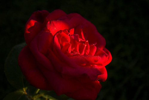 Red Rose under Sunlight