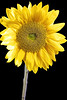 02221-49-Sunflower-6