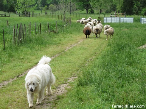 (27-1) Seven-year-old Great Pyrenees Daisy, one of our two livestock guardian dogs, leads the flock down the driveway - FarmgirlFare.com