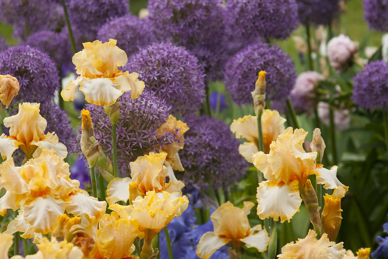 Yellow Iris and Allium H