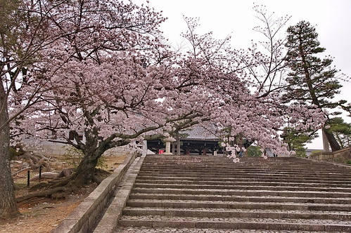【写真】桜 : 金戒光明寺