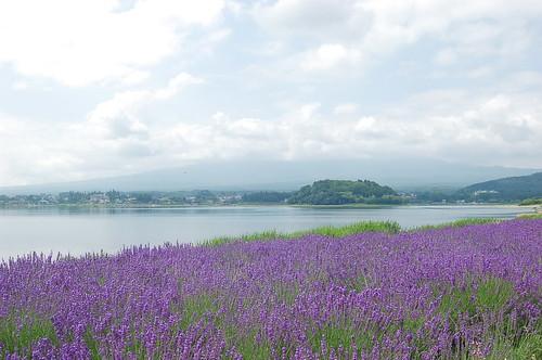 ★河口湖のラベンダー★富士山から…