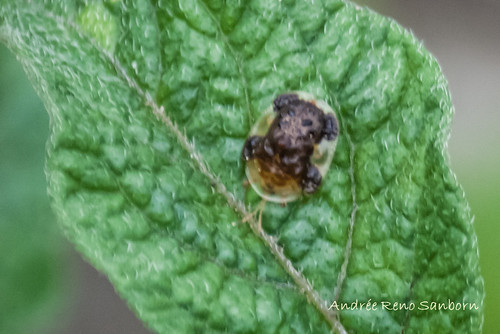 Clavate Tortoise Beetle (Plagiometriona clavata)