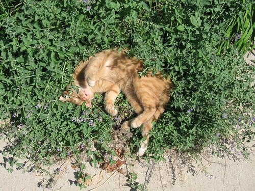La hierba gatera o catnip: qué es y para qué sirve 9419128667_c88a9c033f