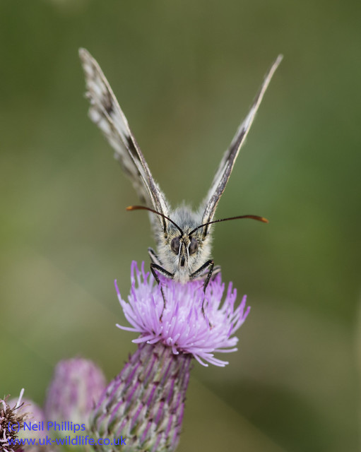 marbled white butterfly-5