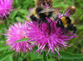 Fuji FinePix S5800-S800.Super Macro.Bumble Bee's On A Knapweed Flower.August 13th 2013.