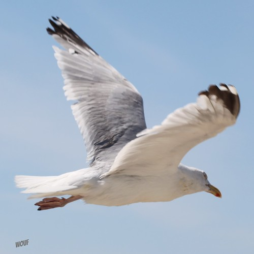 Mouette by wouf_is_wouf
